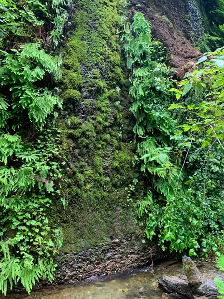 fern canyon wall in Redwood National Park
