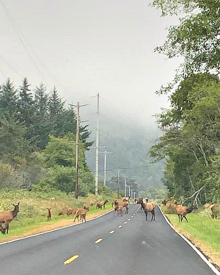 roosevelt elk herd redwoods