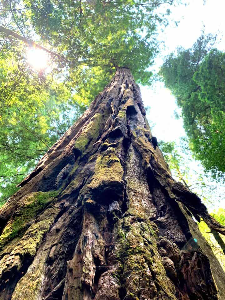 tall tree in Tall Tree Grove in Redwood National Park